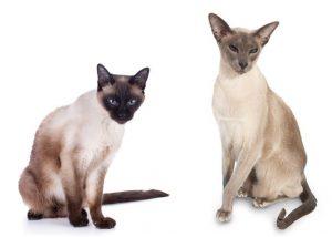 Сиамо-ориентальные породы кошек