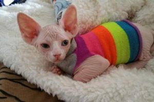 Уход за сфинксами котятами: главное - тепло