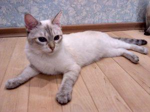 Тайская кошка сил тебби пойнт