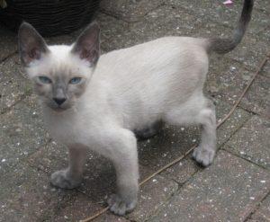 Тайская кошка сил тебби пойнт фото