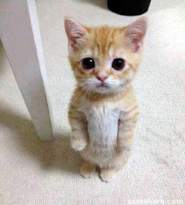Коротконогие кошки любят стоять столбиком