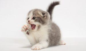 если котенку подходит корм, он выглядит здоровым и хорошо себя чувствует