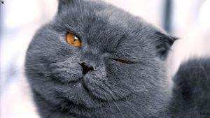 Порода кошек британцы