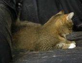 Миниатюра к статье Кошка сильно линяет: как спастись от шерсти?