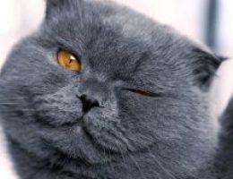 Миниатюра к статье Порода кошек британцы – аристократы кошачьего мира