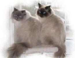 Миниатюра к статье Какие породы кошек могут иметь сиамский окрас?
