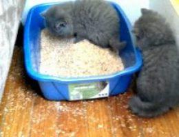 Миниатюра к статье Что делать, если котенок играет с наполнителем? А если он съест наполнитель?