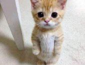 Миниатюра к статье Коротконогие кошки манчкины: происхождение, описание породы, особенности разведения